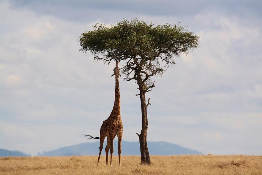 Giraffe 2191662 960 721